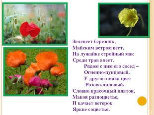 Зеленеет березняк, Майским ветром веет, На лужайке стройный мак Среди трав алеет