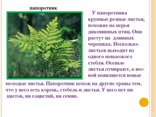 папоротник У папоротника крупные резные листья, похожие на перья диковинных птиц. Они растут на длинных черешках. Несколько листьев выходит из одного невысокого стебля. Осенью листья отмирают, а вес- ной появляются новые молодые листья. Папоротник п…
