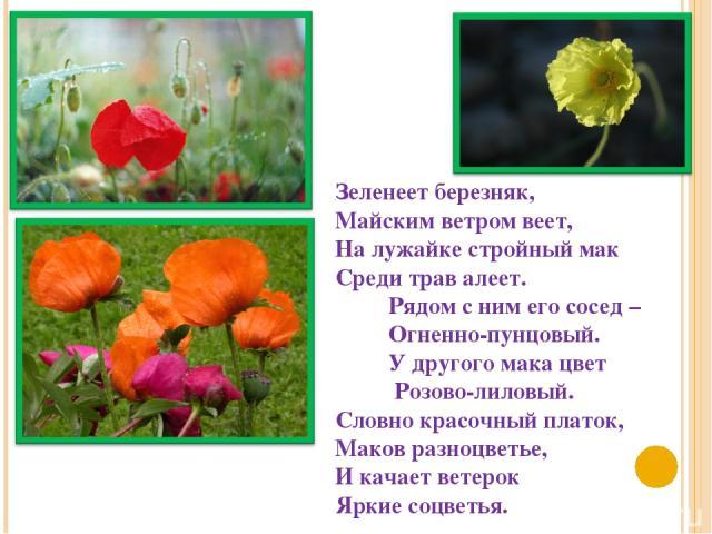 Зеленеет березняк, Майским ветром веет, На лужайке стройный мак Среди трав алеет. Рядом с ним его сосед – Огненно-пунцовый. У другого мака цвет Розово-лиловый. Словно красочный платок, Маков разноцветье, И качает ветерок Яркие соцветья.