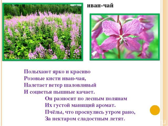 иван-чай Полыхают ярко и красиво Розовые кисти иван-чая, Налетает ветер шаловливый И соцветья пышные качает. Он разносит по лесным полянам Их густой манящий аромат. Пчёлы, что проснулись утром рано, За нектаром сладостным летят.