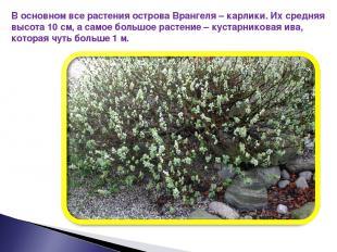 В основном все растения острова Врангеля – карлики. Их средняя высота 10 см, а с