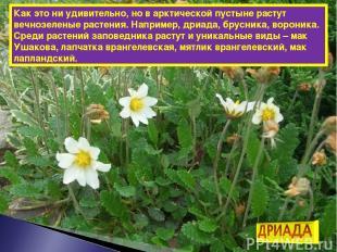 Как это ни удивительно, но в арктической пустыне растут вечнозеленые растения. Н