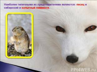 Наиболее типичными их представителями являются: песец и сибирский и копытный лем