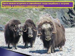 Часто можно встретить и завезённых сюда овцебыка с острова Нунивак и домашнего с