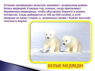 Острова заповедника зачастую называют «родильным домом» белых медведей. Каждый г