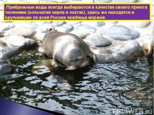 Прибрежные воды всегда выбираются в качестве своего приюта тюленями (кольчатая н