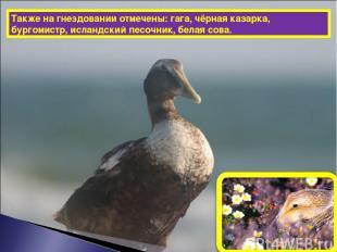 Также на гнездовании отмечены: гага, чёрная казарка, бургомистр, исландский песо