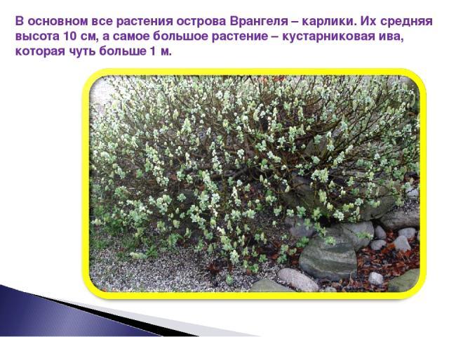 В основном все растения острова Врангеля – карлики. Их средняя высота 10 см, а самое большое растение – кустарниковая ива, которая чуть больше 1 м.