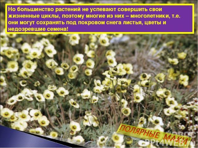 Но большинство растений не успевают совершить свои жизненные циклы, поэтому многие из них – многолетники, т.е. они могут сохранять под покровом снега листья, цветы и недозревшие семена!