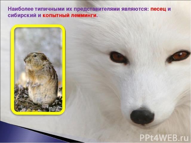 Наиболее типичными их представителями являются: песец и сибирский и копытный лемминги.