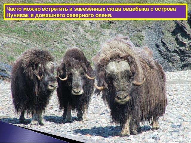 Часто можно встретить и завезённых сюда овцебыка с острова Нунивак и домашнего северного оленя.