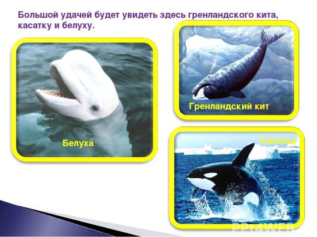 Большой удачей будет увидеть здесь гренландского кита, касатку и белуху. Гренландский кит Касатка Белуха