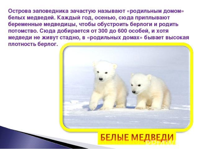 Острова заповедника зачастую называют «родильным домом» белых медведей. Каждый год, осенью, сюда приплывают беременные медведицы, чтобы обустроить берлоги и родить потомство. Сюда добирается от 300 до 600 особей, и хотя медведи не живут стадно, в «р…