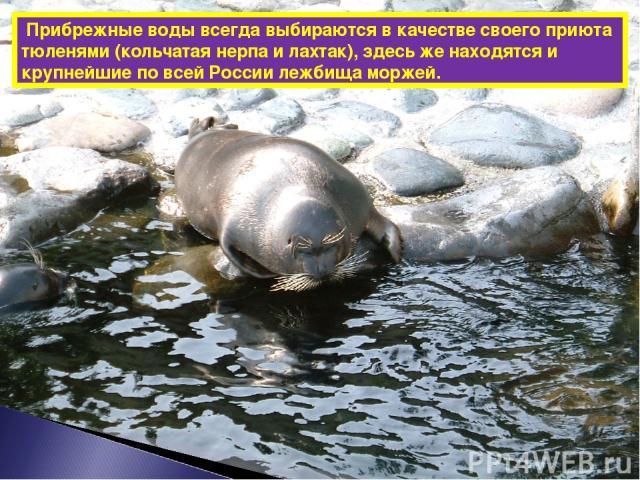Прибрежные воды всегда выбираются в качестве своего приюта тюленями (кольчатая нерпа и лахтак), здесь же находятся и крупнейшие по всей России лежбища моржей.
