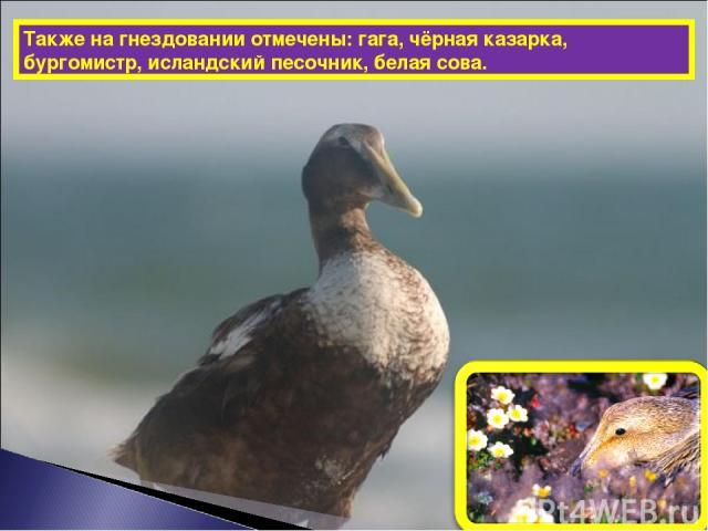 Также на гнездовании отмечены: гага, чёрная казарка, бургомистр, исландский песочник, белая сова.
