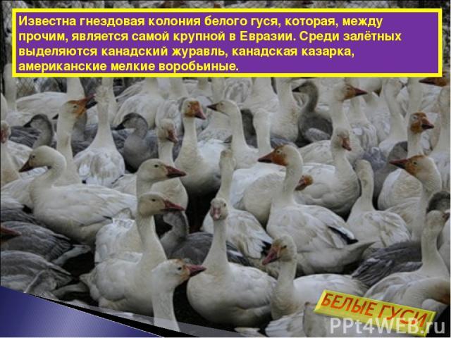Известна гнездовая колония белого гуся, которая, между прочим, является самой крупной в Евразии. Среди залётных выделяются канадский журавль, канадская казарка, американские мелкие воробьиные.