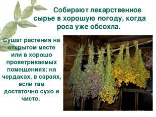 Собирают лекарственное сырье в хорошую погоду, когда роса уже обсохла. Сушат рас