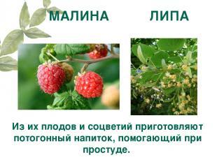МАЛИНА ЛИПА Из их плодов и соцветий приготовляют потогонный напиток, помогающий