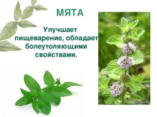 МЯТА Улучшает пищеварение, обладает болеутоляющими свойствами.