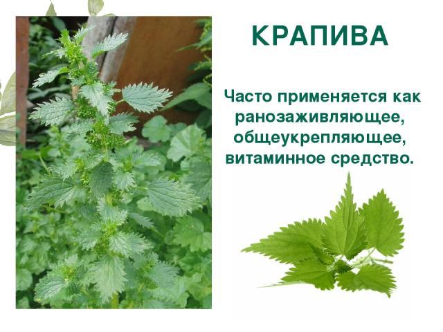 КРАПИВА Часто применяется как ранозаживляющее, общеукрепляющее, витаминное средство.