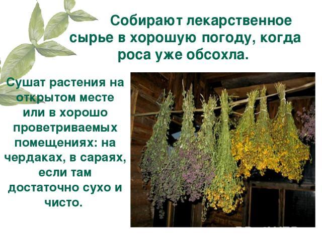 Собирают лекарственное сырье в хорошую погоду, когда роса уже обсохла. Сушат растения на открытом месте или в хорошо проветриваемых помещениях: на чердаках, в сараях, если там достаточно сухо и чисто.