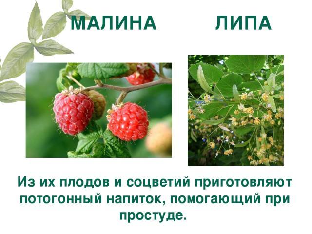 МАЛИНА ЛИПА Из их плодов и соцветий приготовляют потогонный напиток, помогающий при простуде.