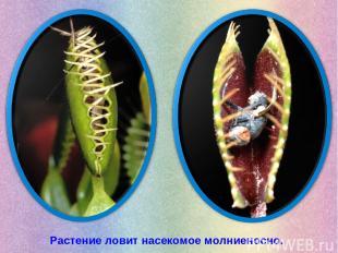 Растение ловит насекомое молниеносно.