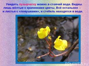 Увидеть пузырчатку можно в стоячей воде. Видны лишь жёлтые с крапинками цветы. В