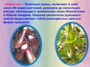 Непентесы – болотные лианы, включают в себя около 80 видов растений, размером до