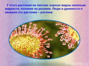 У этого растения на листках хорошо видны капельки жидкости, похожие на росинки.