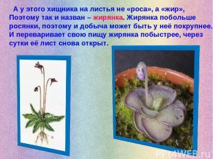 А у этого хищника на листья не «роса», а «жир», Поэтому так и назван – жирянка.