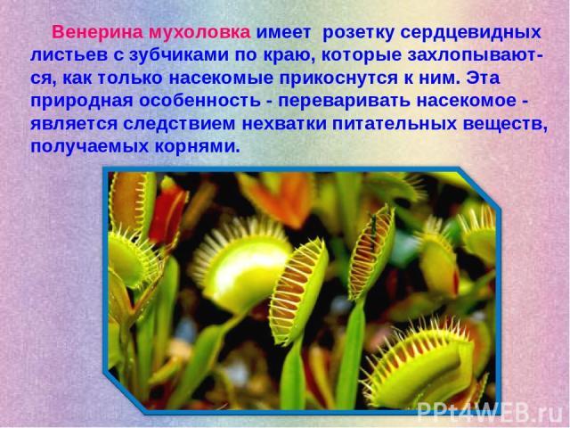 Венерина мухоловка имеет розетку сердцевидных листьев с зубчиками по краю, которые захлопывают-ся, как только насекомые прикоснутся к ним. Эта природная особенность - переваривать насекомое - является следствием нехватки питательных веществ, получае…