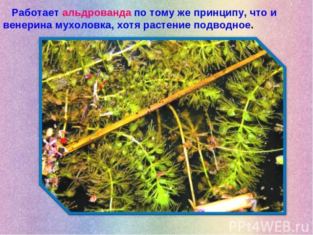 Работает альдрованда по тому же принципу, что и венерина мухоловка, хотя растение подводное.
