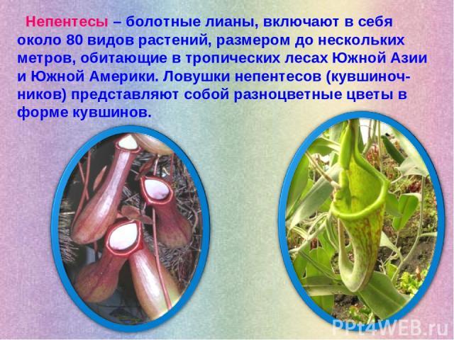 Непентесы – болотные лианы, включают в себя около 80 видов растений, размером до нескольких метров, обитающие в тропических лесах Южной Азии и Южной Америки. Ловушки непентесов (кувшиноч-ников) представляют собой разноцветные цветы в форме кувшинов.