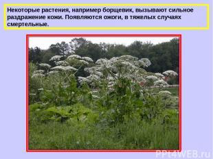 Некоторые растения, например борщевик, вызывают сильное раздражение кожи. Появля