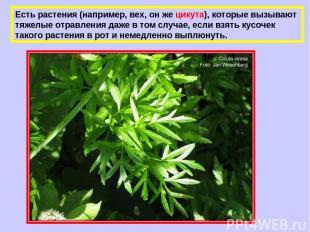 Есть растения (например, вех, он же цикута), которые вызывают тяжелые отравления