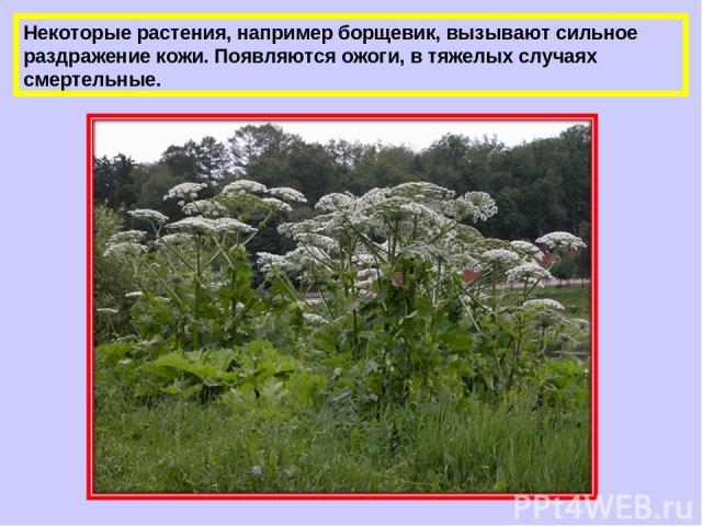 Некоторые растения, например борщевик, вызывают сильное раздражение кожи. Появляются ожоги, в тяжелых случаях смертельные.