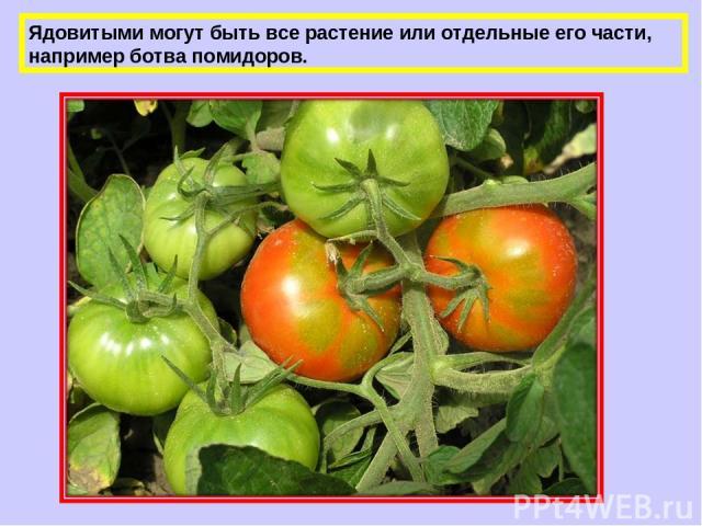 Ядовитыми могут быть все растение или отдельные его части, например ботва помидоров.