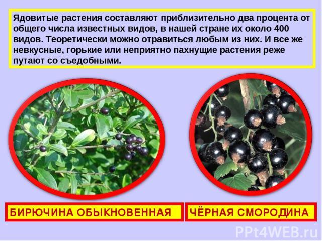 Ядовитые растения составляют приблизительно два процента от общего числа известных видов, в нашей стране их около 400 видов. Теоретически можно отравиться любым из них. И все же невкусные, горькие или неприятно пахнущие растения реже путают со съедо…