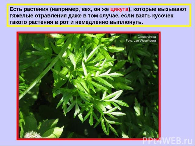 Есть растения (например, вех, он же цикута), которые вызывают тяжелые отравления даже в том случае, если взять кусочек такого растения в рот и немедленно выплюнуть.