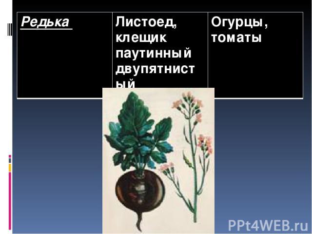 Редька Листоед, клещик паутинный двупятнистый Огурцы, томаты