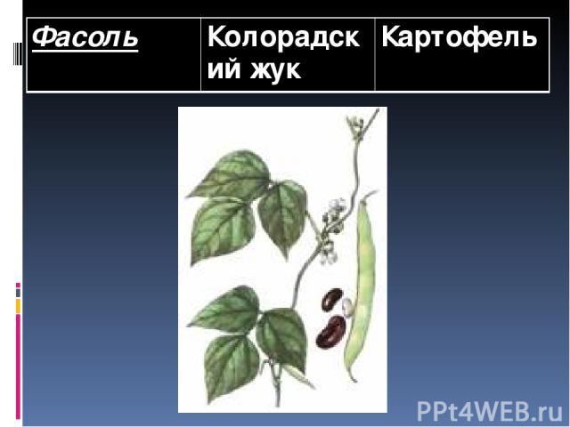 Фасоль Колорадский жук Картофель