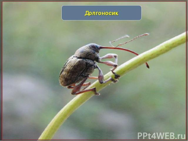 www.themegallery.com Долгоносик