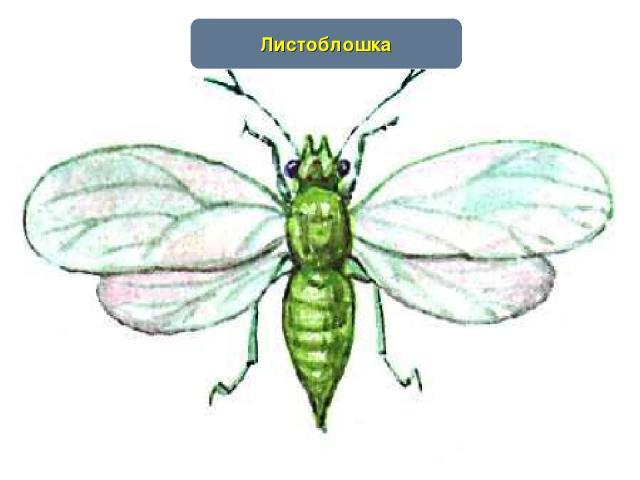 www.themegallery.com Листоблошка