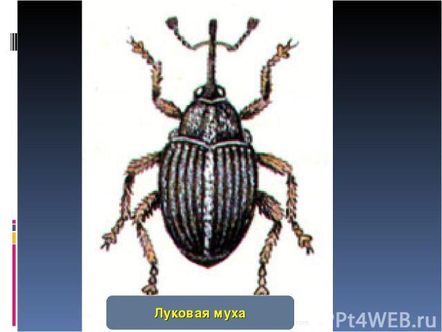 www.themegallery.com Луковая муха