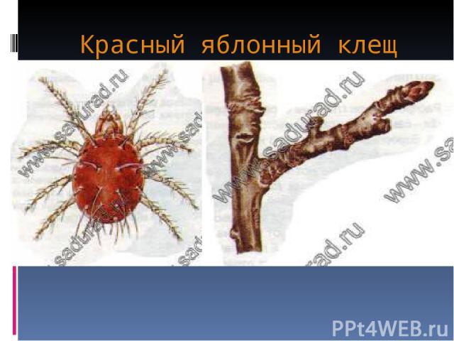 Красный яблонный клещ