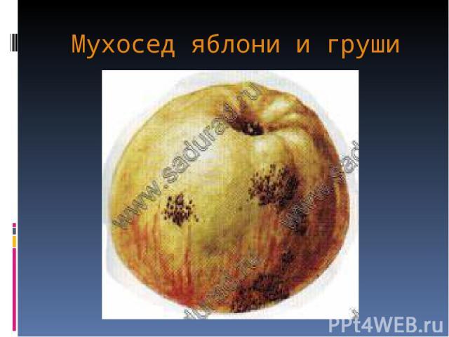 Мухосед яблони и груши