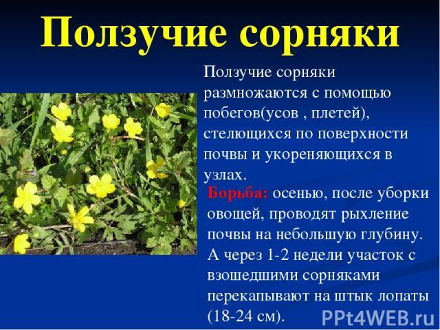 Ползучие сорняки размножаются с помощью побегов(усов , плетей), стелющихся по поверхности почвы и укореняющихся в узлах. Борьба: осенью, после уборки овощей, проводят рыхление почвы на небольшую глубину. А через 1-2 недели участок с взошедшими сорня…