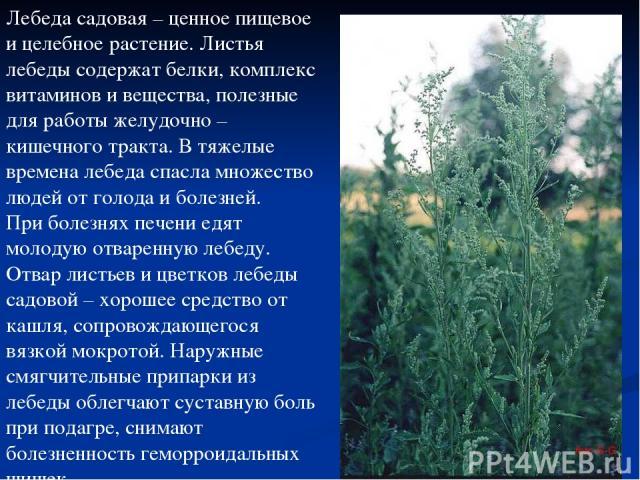 Лебеда садовая – ценное пищевое и целебное растение. Листья лебеды содержат белки, комплекс витаминов и вещества, полезные для работы желудочно – кишечного тракта. В тяжелые времена лебеда спасла множество людей от голода и болезней. При болезнях пе…
