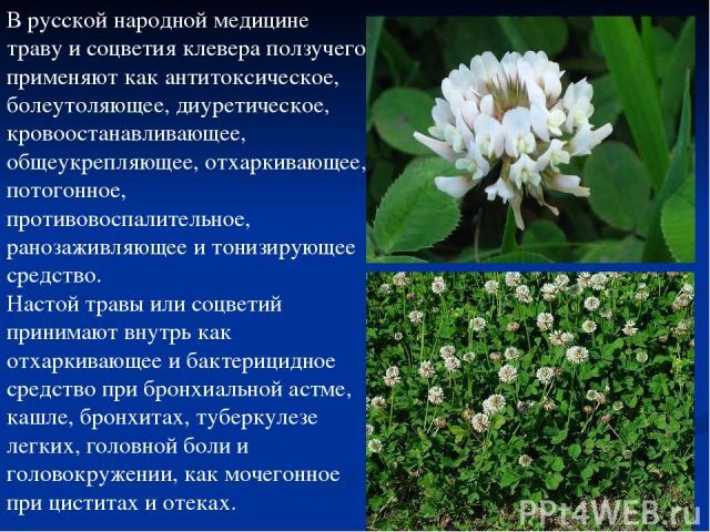 В русской народной медицине траву и соцветия клевера ползучего применяют как антитоксическое, болеутоляющее, диуретическое, кровоостанавливающее, общеукрепляющее, отхаркивающее, потогонное, противовоспалительное, ранозаживляющее и тонизирующее средс…